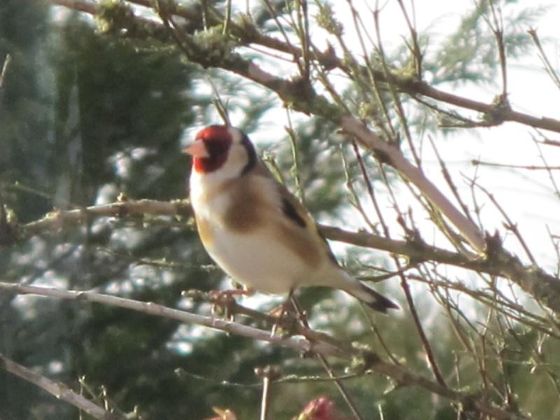 oiseaux présents cet hiver au banquet  Img_8218