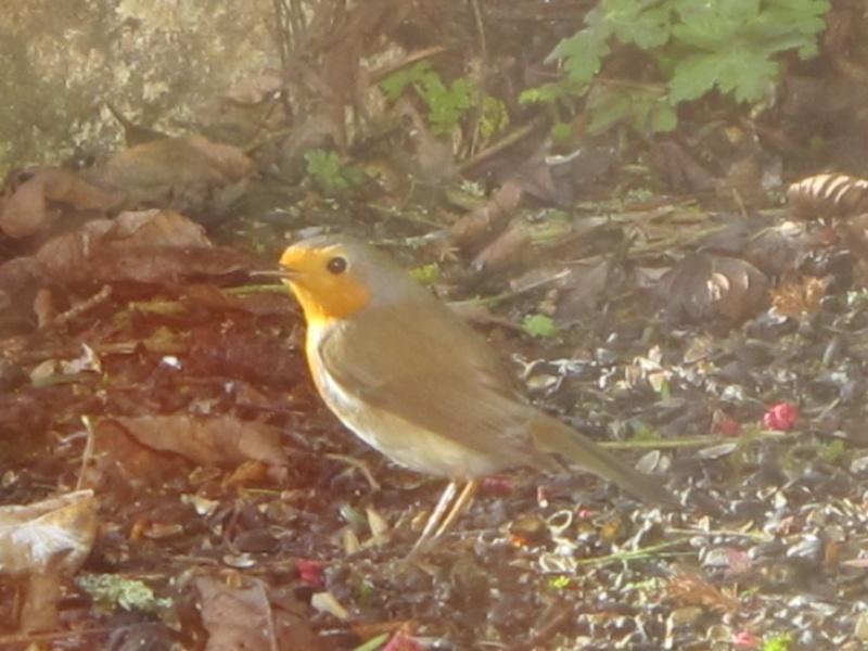 oiseaux présents cet hiver au banquet  Img_8221