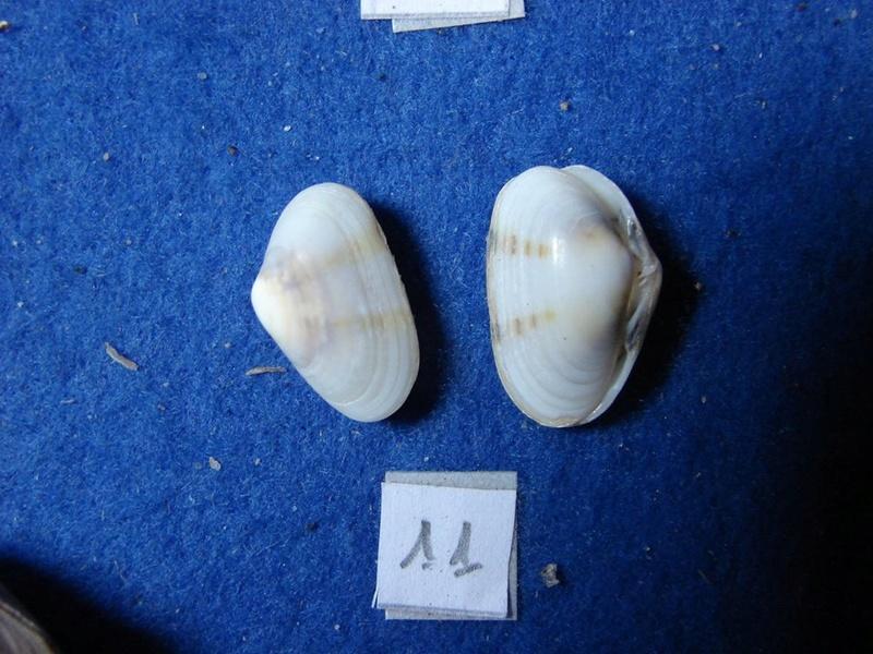 Donacilla cornea ((Polis, 1795) Donaci11