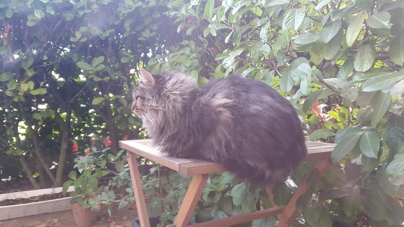 perdu chat tigré poil long colomiers 20161210