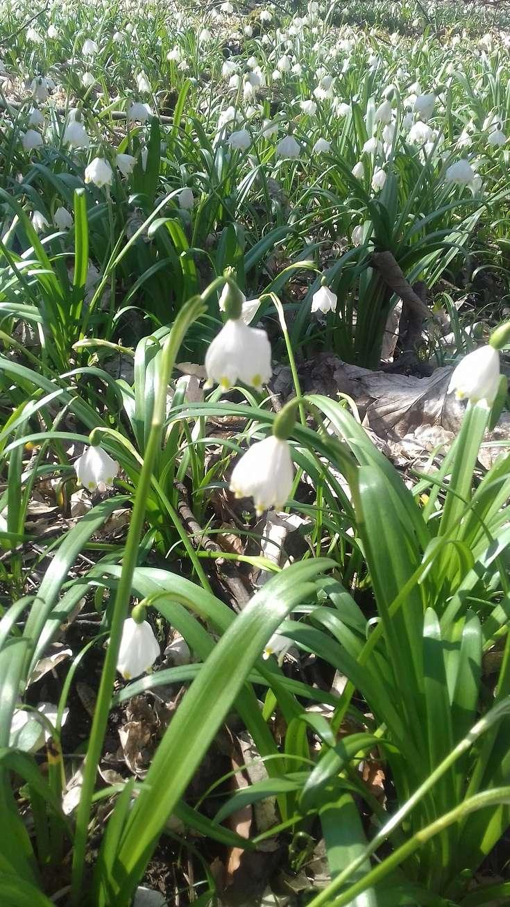 Erste Frühlingsboten im Garten und in Wald und Flur - Seite 49 Im_wal12