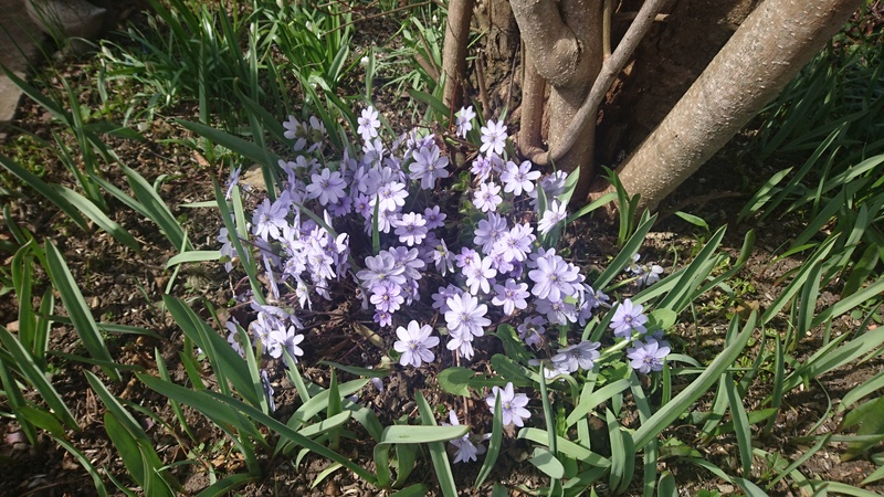 Erste Frühlingsboten im Garten und in Wald und Flur - Seite 49 Dsc_0843