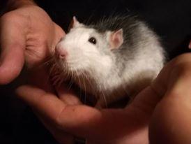 [Haute Savoie (74)] [Sauvetage] [Rat husky mâle 6 mois environ] Ju10