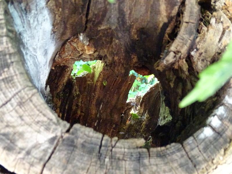 Insectes dans le tronc d'un très vieux tilleul Dsc03810