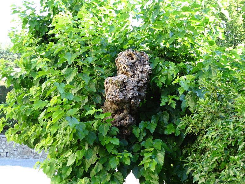 Insectes dans le tronc d'un très vieux tilleul Dsc03813