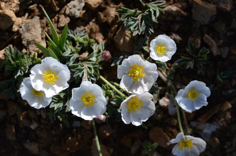 Détermination fleur alpine / Dévoluy 10/06/2017 Dsc_8710
