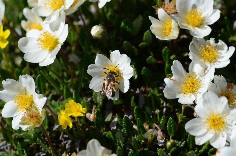 Détermination fleur alpine / Dévoluy 10/06/2017 Dsc_8711