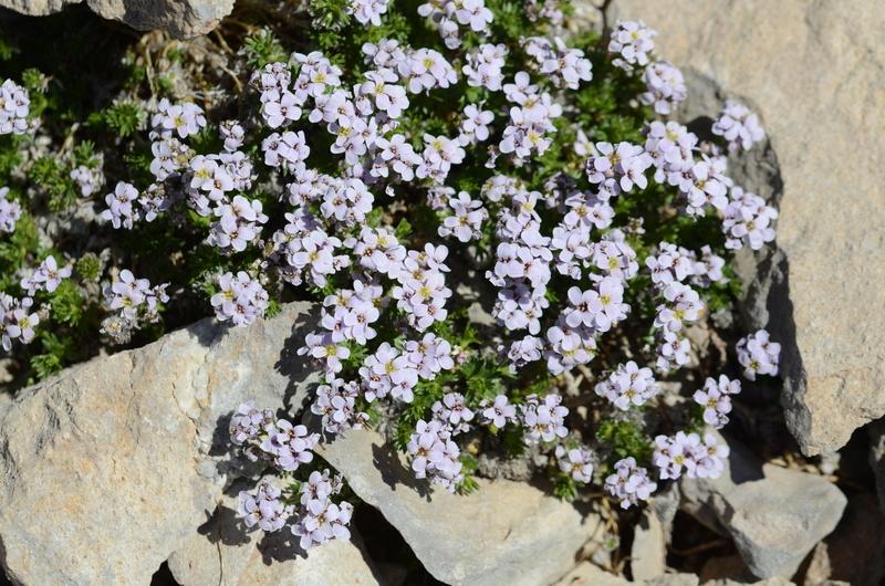 Détermination fleur alpine / Dévoluy 10/06/2017 Dsc_8712