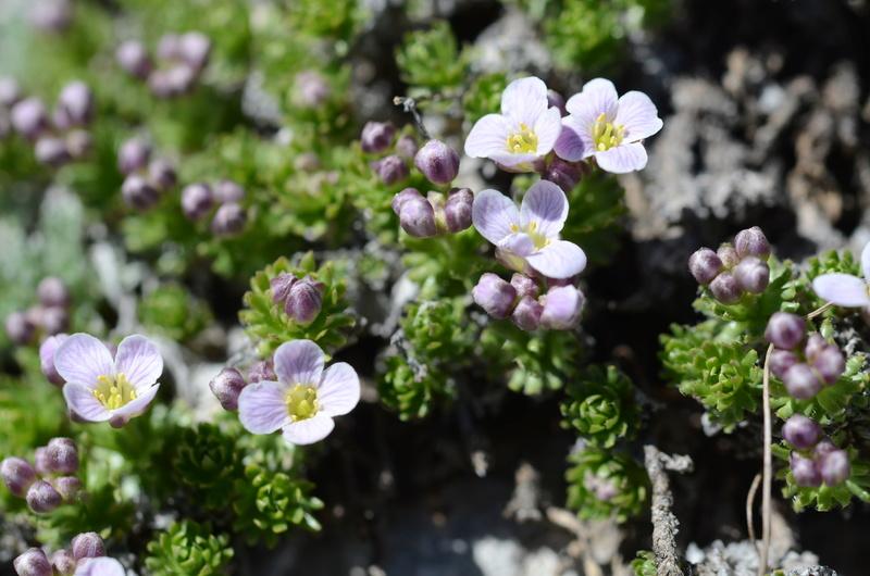 Détermination fleur alpine / Dévoluy 10/06/2017 Dsc_8810