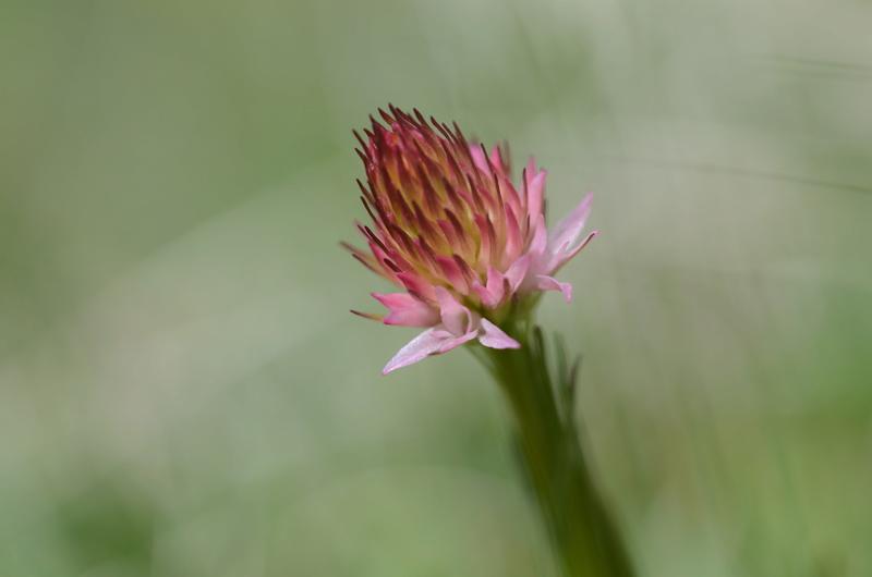 Détermination fleur alpine / Dévoluy 10/06/2017 Dsc_8910