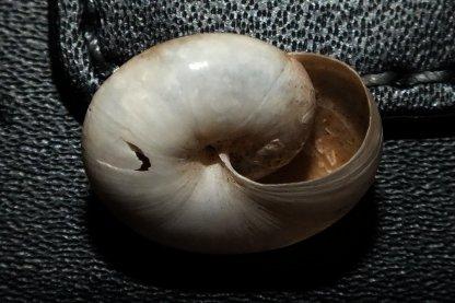 Macrochlamys indica (Pfeiffer, 1846) Dscf5714