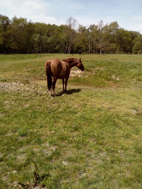 (Dept 63) DUN,  fjord/quarter horse, Sauvée par Morgane63 ! (Octobre2012) - Page 9 Unnam494