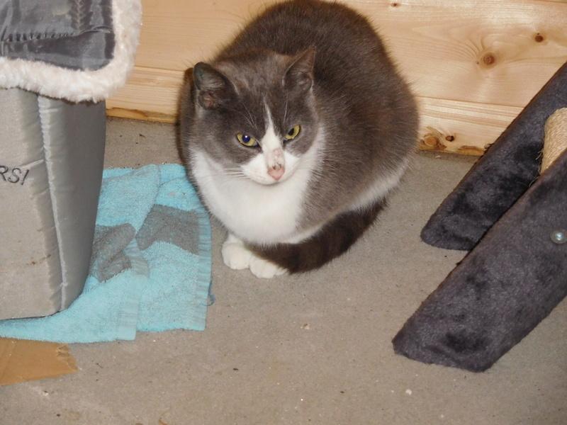 CERISE, chatte grise et blanche Dscn7111