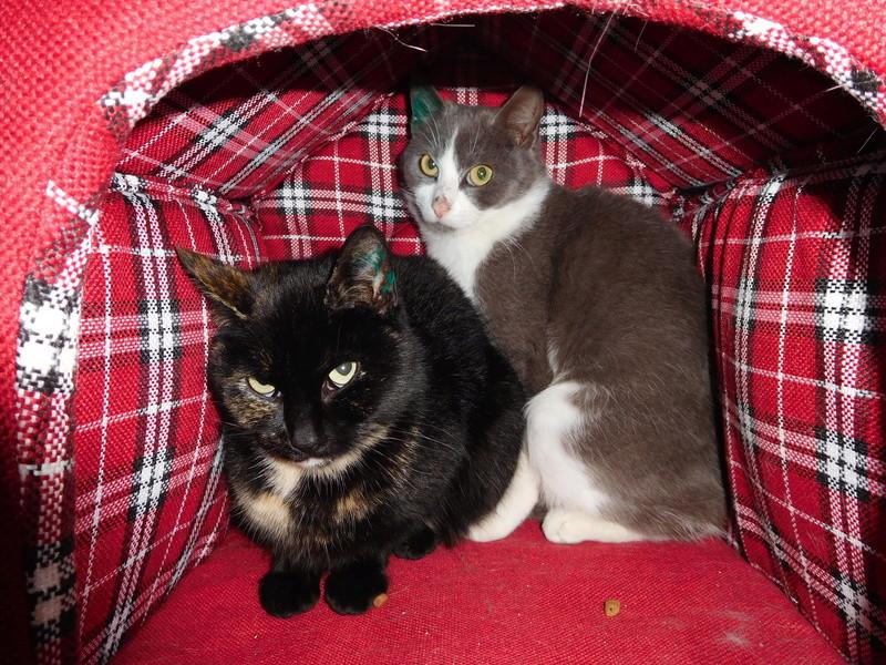 CERISE, chatte grise et blanche Dscn7112