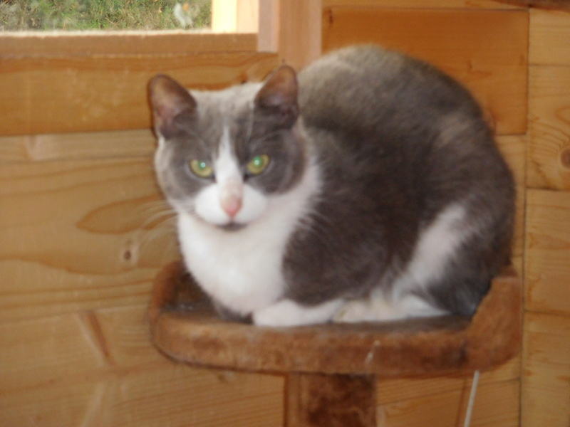 CERISE, chatte grise et blanche Dscn7414