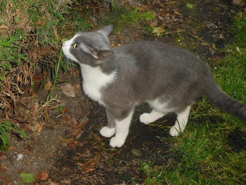 CERISE, chatte grise et blanche Dscn7415