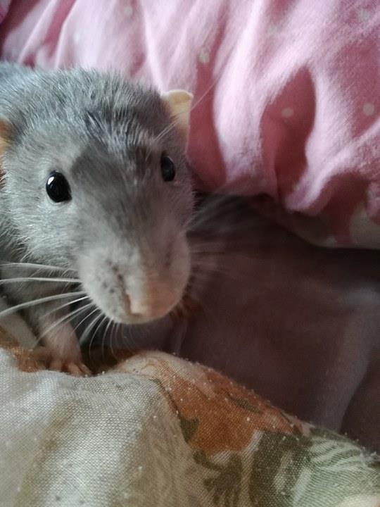 Rat bleu 11 mois placement urgent 18217210