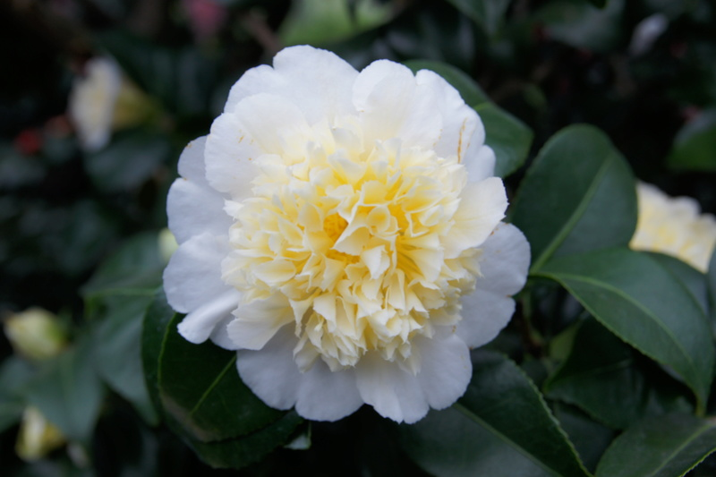 Camellia - Kamelien - Seite 3 Dsc05110