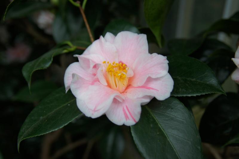 Camellia - Kamelien - Seite 3 Dsc05111