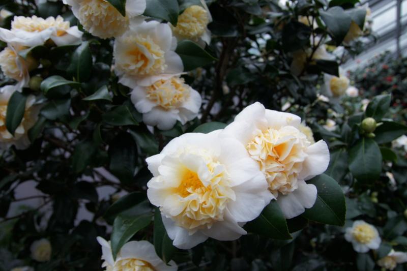 Camellia - Kamelien - Seite 3 Dsc05112