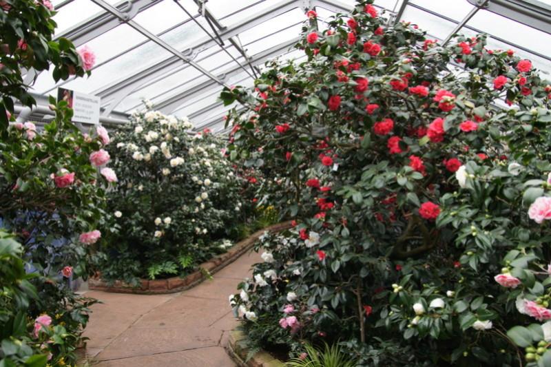 Camellia - Kamelien - Seite 3 Dsc05113