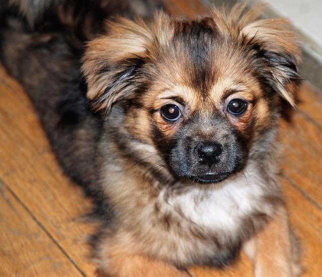 MUFFIN, épagneul Tibétain sorti d'élevage - notre Bébé Tinou Dsc_0510