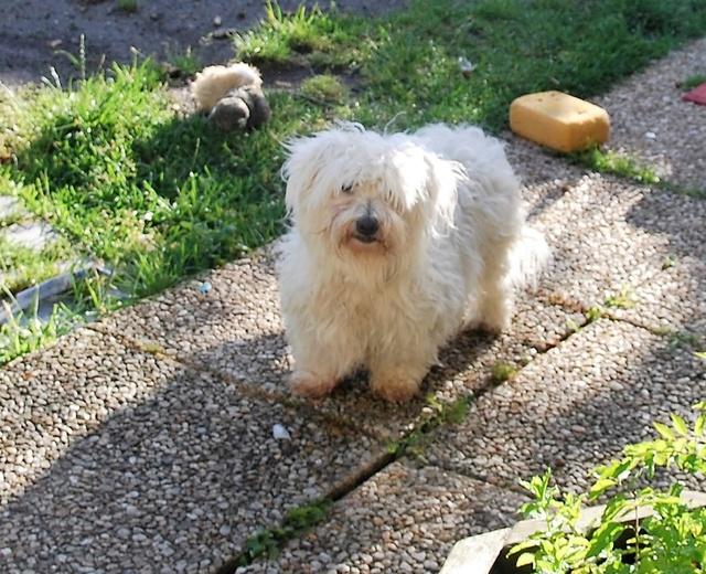 ERA, jolie Coton de Tuléar de 8 ans, réformée d'élevage Dsc_0810