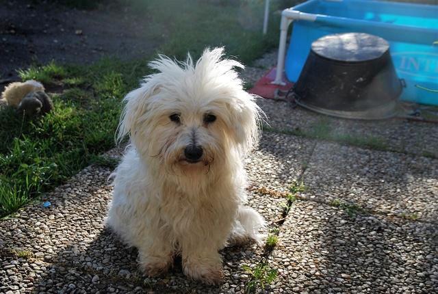 ERA, jolie Coton de Tuléar de 8 ans, réformée d'élevage Dsc_0813