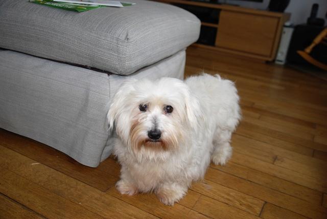 ERA, jolie Coton de Tuléar de 8 ans, réformée d'élevage Dsc_0816