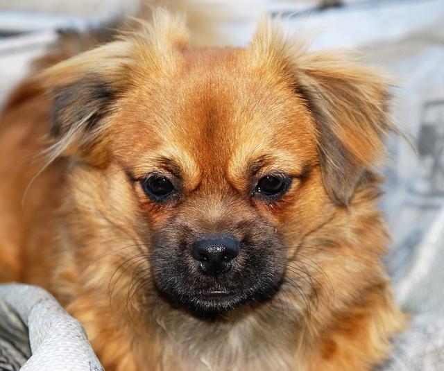 MUFFIN, épagneul Tibétain sorti d'élevage - notre Bébé Tinou Dsc_0828