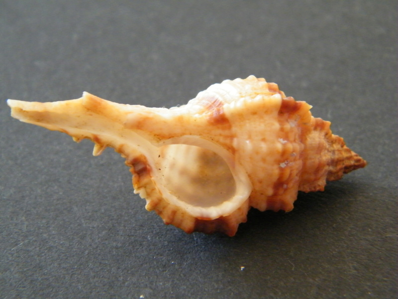 Siratus coltrorum - (Vokes, 1990)  Dscf2624