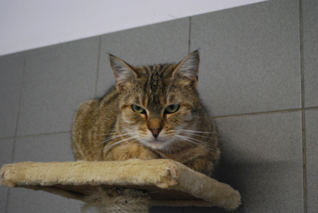 Savane, chatte tigrée Dsc_7815