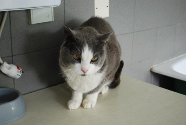 Tigrou, chat gris et blanc Dsc_8212