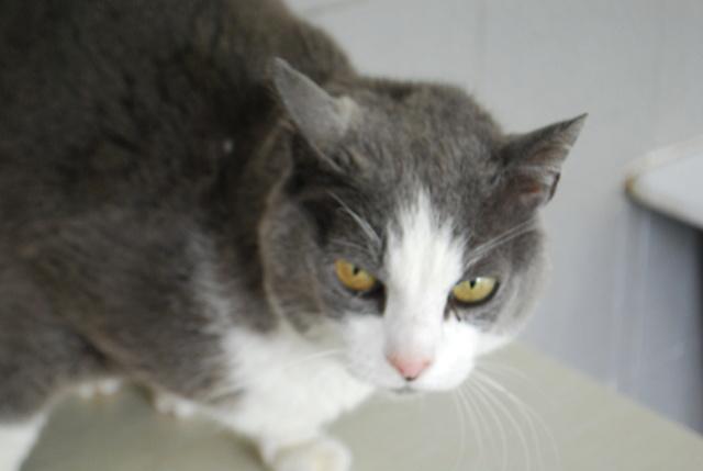 Tigrou, chat gris et blanc Dsc_8213