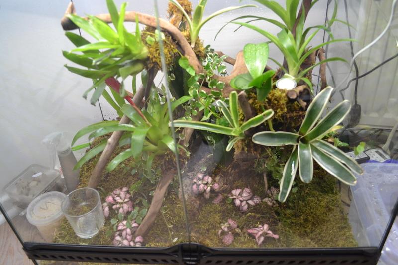Terrarium pour Lygodactylus williamsi Versio12