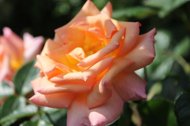 le royaume des rosiers...Vive la Rose ! - Page 14 Img_4122