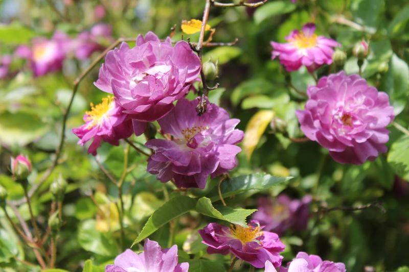 le royaume des rosiers...Vive la Rose ! - Page 14 Img_4123