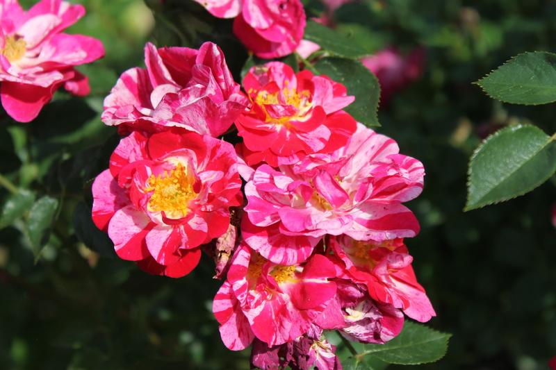 le royaume des rosiers...Vive la Rose ! - Page 14 Img_4125