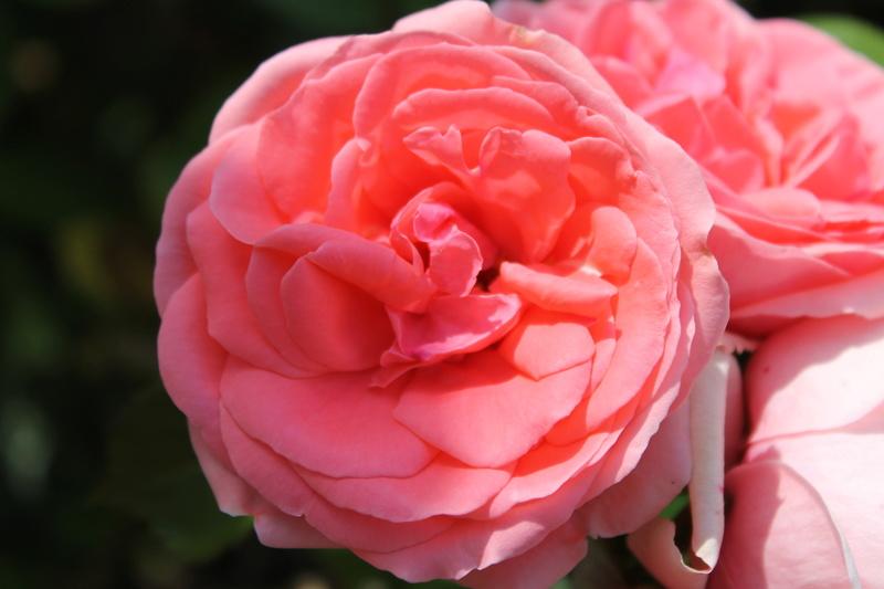 le royaume des rosiers...Vive la Rose ! - Page 14 Img_4126