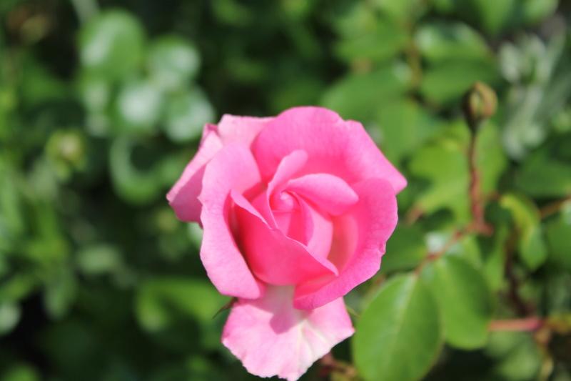 le royaume des rosiers...Vive la Rose ! - Page 14 Img_4127