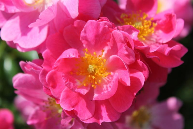 le royaume des rosiers...Vive la Rose ! - Page 14 Img_4129