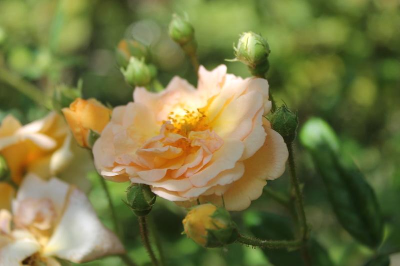 le royaume des rosiers...Vive la Rose ! - Page 14 Img_4130