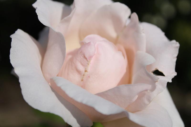 le royaume des rosiers...Vive la Rose ! - Page 14 Img_4132