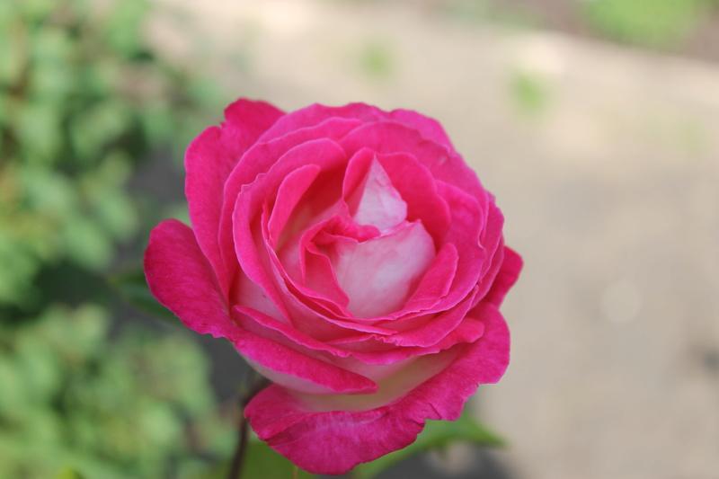 le royaume des rosiers...Vive la Rose ! - Page 14 Img_4135