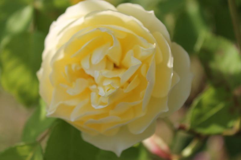 le royaume des rosiers...Vive la Rose ! - Page 14 Img_4136