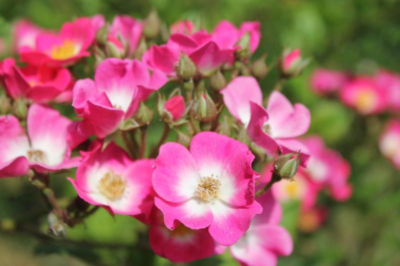 le royaume des rosiers...Vive la Rose ! - Page 14 Img_4137