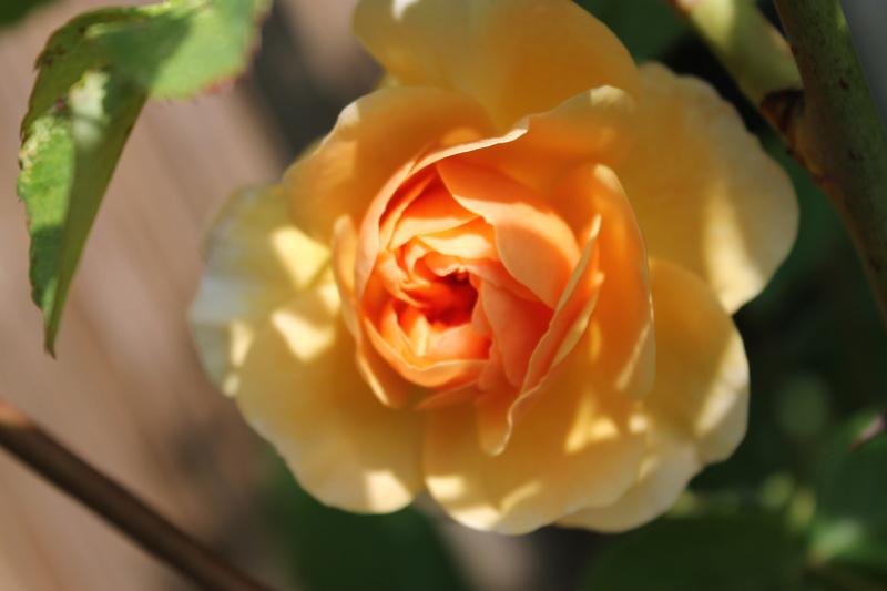 le royaume des rosiers...Vive la Rose ! - Page 14 Img_4220