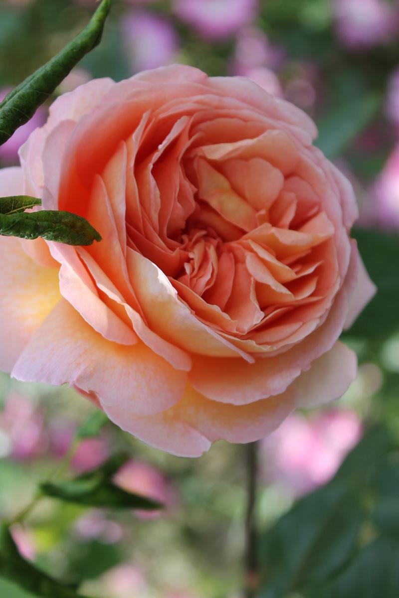 le royaume des rosiers...Vive la Rose ! - Page 14 Img_4221