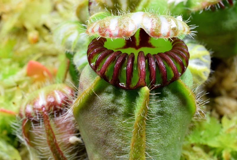 photos de céphalotus - Page 4 Dudley10