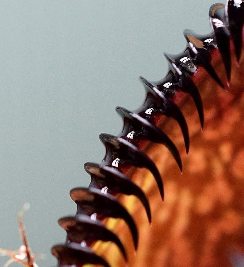 Photos de Nepenthes - Page 2 Hamata10